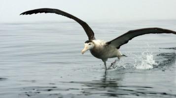 L'écrivain et l'albatros, par Tawfiq Belfadel