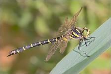 Libellule (Odonata)